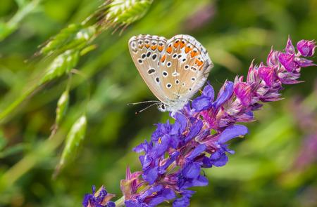 polyommatus icarus: Common Blue (Polyommatus icarus) butterfly on a wild sage at summer season in Ukraine