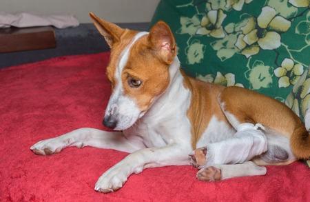 foreleg: Sad basenji dog with broken bandaged hind feet resting on a sofa
