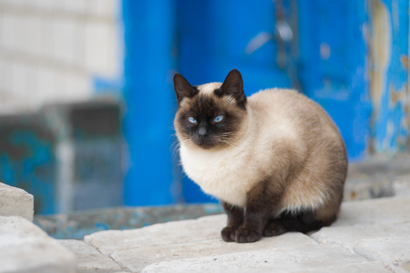 blue siamese cat: Graceful Siamese cat with blue eyes