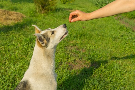 commands: Master feeding young dog while training simple commands