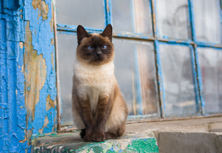 blue siamese cat: Graceful Siamese cat with blue eyes sitting at the old window Stock Photo