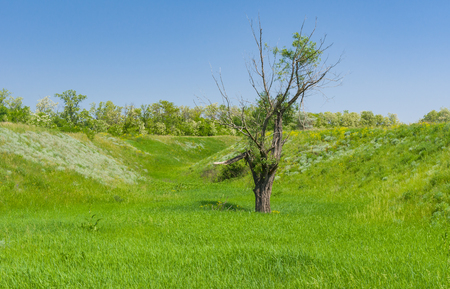 lowland: Spring landscape with an old lonely pussy-willow tree in lowland