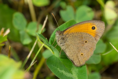 eyespot: Meadow brown (Maniola jurtina) butterfly having rest on a leaf in shadows of summer herbs