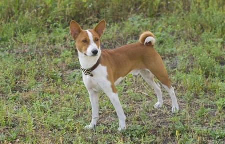 Cute Basenji dog - troop leader Banco de Imagens