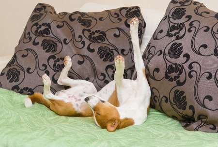 dormant: Dormant Basenji dog being in funny sleeping pose on the sofa