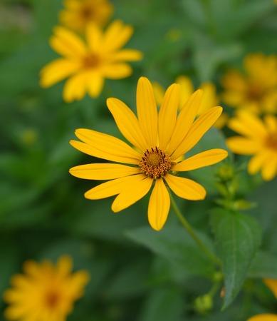 oxeye: Heliopsis helianthoides - Smooth oxeye flower at summer garden