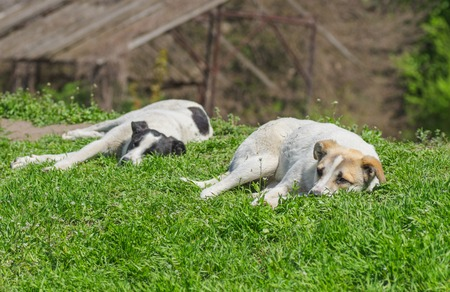 Pair of stray dogs relaxes under warm spring sun Stock Photo