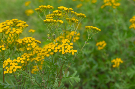 herbaceous plant: Tansy (Tanacetum vulgare) - flowering herbaceous plant at summer time in wild nature