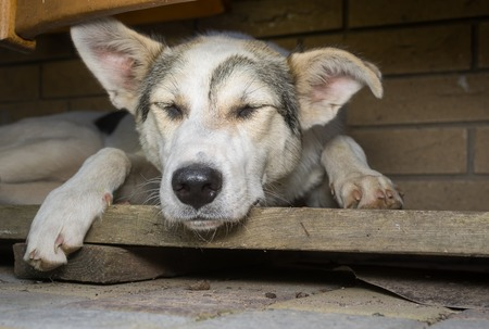 secluded: Big young dog sleeping in its secluded corner Stock Photo
