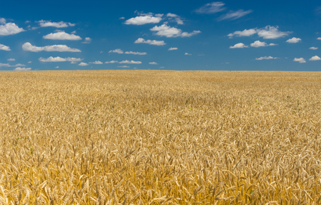 expanse: Ukrainian summer landscape with wheat field and blue sky and white clouds Stock Photo