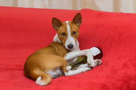 ludicrous: Cute basenji - alcohol lover having rest on the sofa