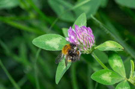 flesh eating animal: Hard worker bumblebee doing everday chores in evening wild herbs Stock Photo