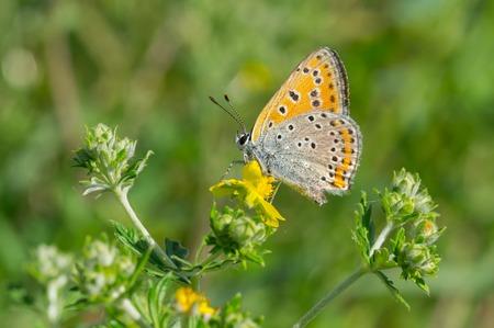polyommatus icarus: Common Blue (Polyommatus icarus) butterfly on a wild flower at summer season in Ukraine