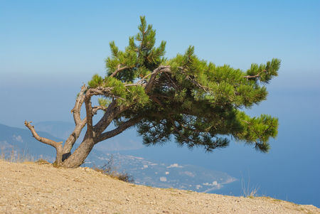 over the edge: Landscape with lonely pine-tree growing on the edge of precipice in Crimean mountains over Yalta city