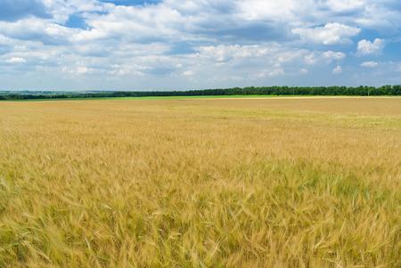 noon: Ukrainian summer landscape with wheat field