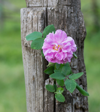 twined: Branch of dog-rose twined round dry trunk