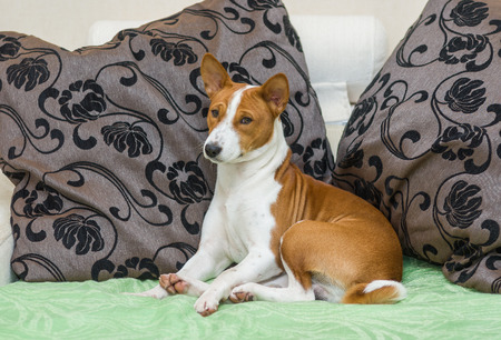 slumberous: Sleepy Basenji dog being resting on the sofa Stock Photo