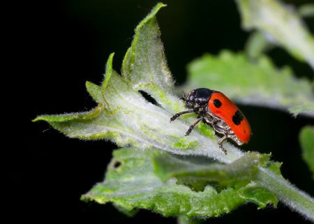 nocturnal: Nocturnal little beetle is ready to eat that fresh leaf up Stock Photo