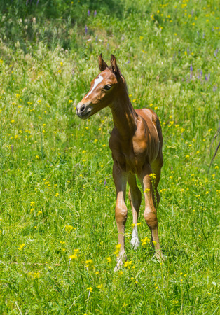 chestnut male: Portrait of newborn foal on a summer pasture