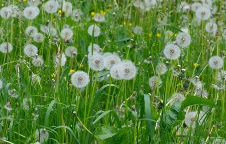 Field with retired dandelions