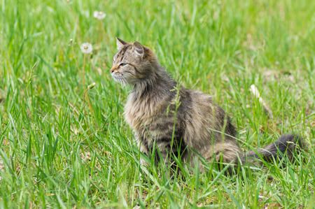 Long-haired cat in hunting process - looking for prey