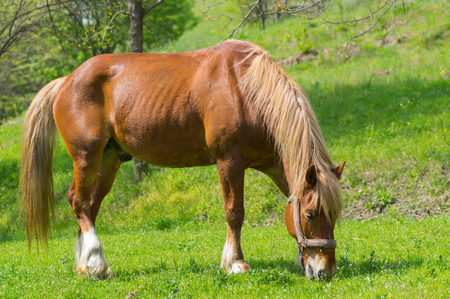 chestnut male: Portrait of draft horse on a spring pasture. Stock Photo