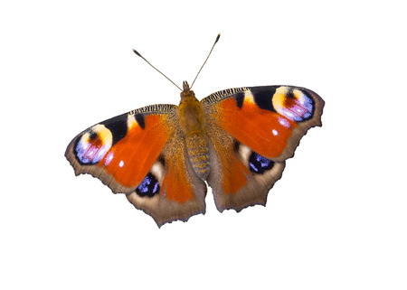 eyespot: European Peacock butterfly isolated on white background Stock Photo