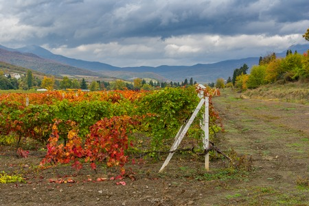 Crimean mountain landscape with vineyards at fall season