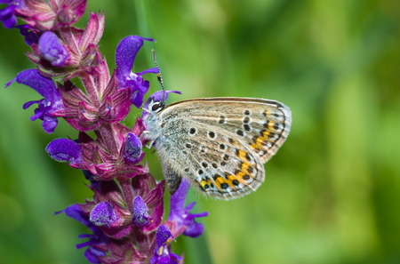 Common Blue (Polyommatus icarus) butterfly on a wild flower