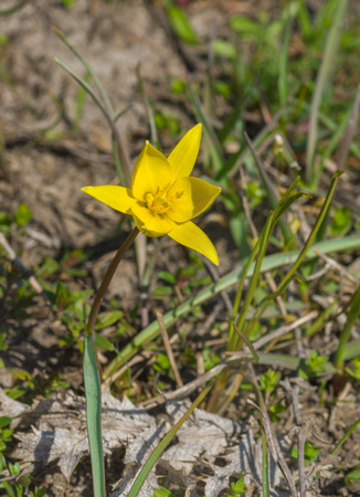Gagea (Yellow Star-of-Bethlehem) - one of the first wild flower in spring Ukraine