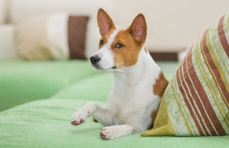 Royal basenji giving its paw for gratifying kiss Stock Photo