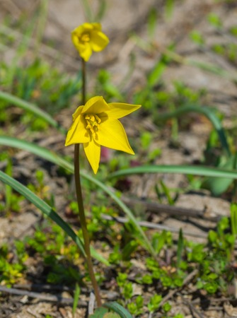 diminutive: Beautiful Gagea (Yellow Star-of-Bethlehem) - one of the first wild spring flower in central Ukraine Stock Photo