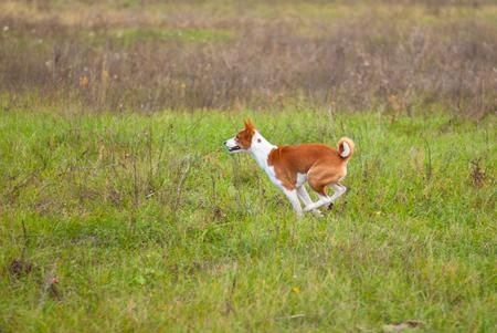 Basenji dog running in an autumnal field Banco de Imagens