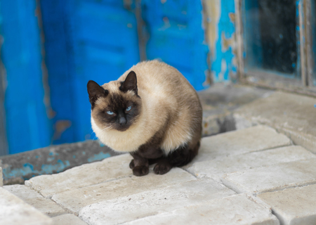 Graceful Siamese cat with blue eyes sitting on a pile of bricks at the old window