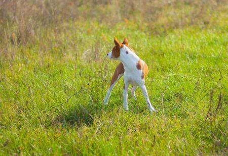 Cute Basenji dog looking for prey in wild grass at fall season Banco de Imagens