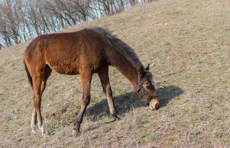 yegua: Young horse (mare) grazing first spring grass