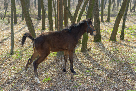 Young horse in spring forest