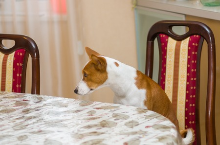 laughable: Dissatisfied basenji in angry mood for master is being so long with waiter service