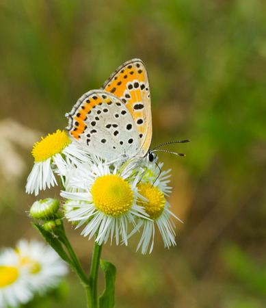 common blue: Common Blue (female) butterfly