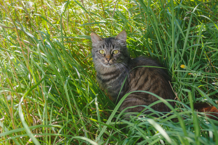 timorous: Young tabby tat looking with interest while hiding in summer grass Stock Photo