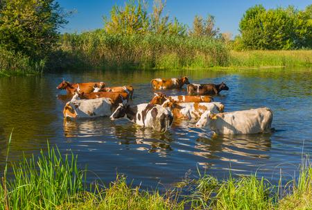 a bathing place: Cow herd having water treatment in summer Ukrainian river Merla