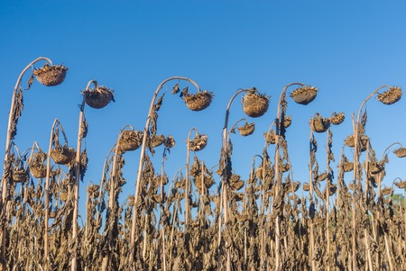 Rows of ripe sunflowers in autumnal organic field is ready to be harvested in Ukraine