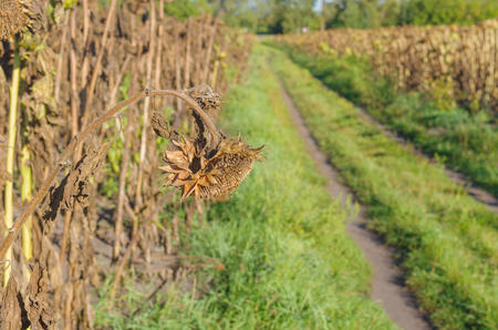 stoop: Ripe sunflower in autumnal organic field is ready to be harvested in Ukraine Stock Photo