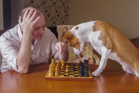 laughable: Smart  basenji dog desperately thinking about next move in a chess family tournament