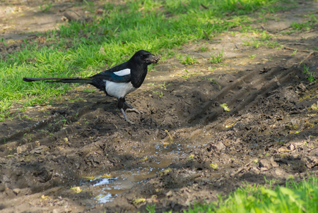 filth: Male of magpie bird standing near puddle gathering filth  for building nest
