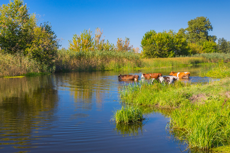 a bathing place: Landscape with cows having water treatment in summer Ukrainian river Merla