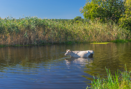 a bathing place: Lonely cow having water treatment in summer Ukrainian river Merla