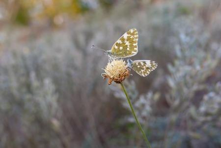 Two butterflies (Pontia daplidice) sitting on the last autumnal wild flower