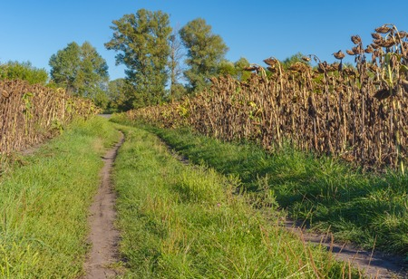 earth road: Simple rural landscape with earth road between ripe sunflowers fields in central Ukraine