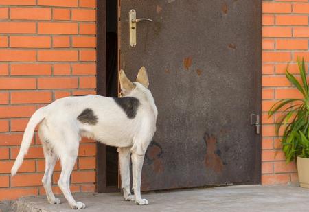 half breed: Mixed breed dog looking into half-open door in masters house Stock Photo